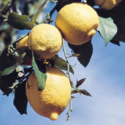 Play The Most 5 rated game about lemons on trees